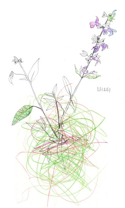 Salbei, Pflanze, Garten